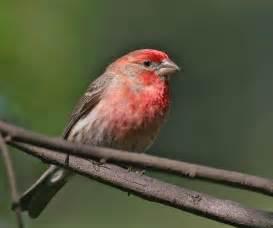 the splendid bourke bird pink birds birds all