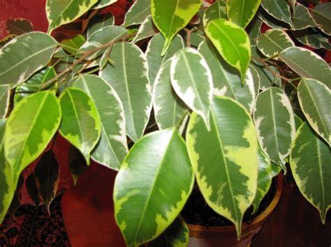 Ficus Benjamin Secco by Ficus Benjamin Piante Appartamento Coltivazione Ficus