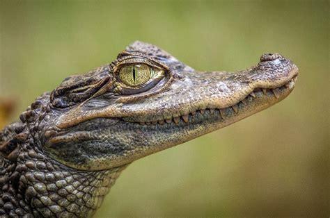 alligator  stock photo public domain pictures