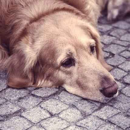 is my puppy depressed my is shaking 8 possible reasons petcarerx