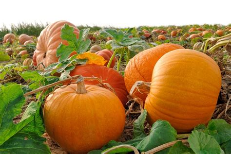 this is pumpkins the complete guide to pumpkin health benefits and