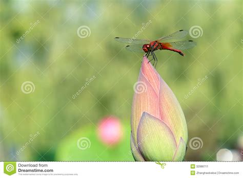 Emberly Top Z By Lotuz dragonfly and lotus bud stock image image of wildlife