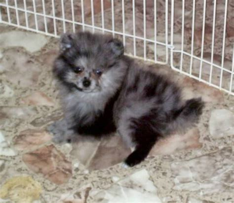 blue merle pomeranians for sale blue merle pomeranian obo no papers with best offer for sale in breeds