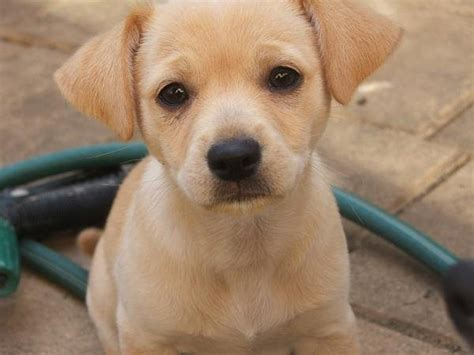 cutest puppy mixes chihuahua lab mix labrador mix puppies for sale breeds picture