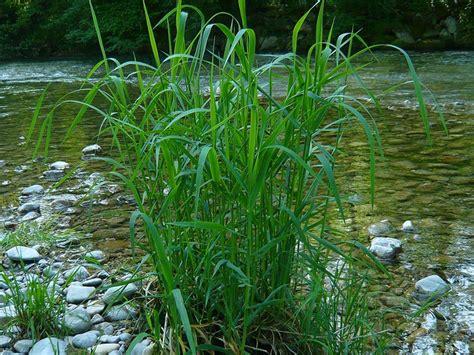 schilf pflanzen als sichtschutz 2158 schilf pflanzen als sichtschutz schilf pflanzen als