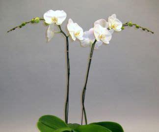 orchidea in vaso cura cura delle orchidee in vaso