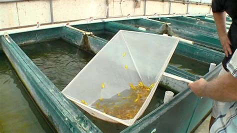 backyard fish farming tilapia home aquaculture backyard