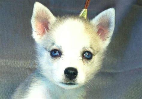 mini husky puppies pin husky miniature dogs on