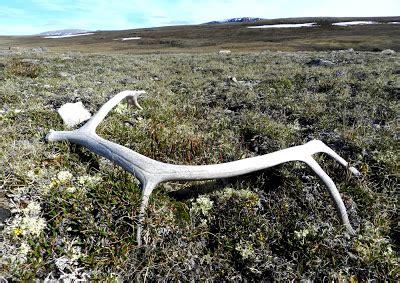 elfshot shed antlers