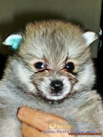 Pin Lucu Imut2 dunia anjing jual anjing pomeranian jual anak pom jantan