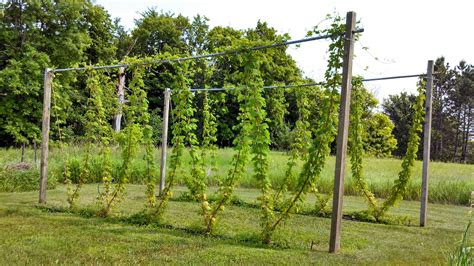 backyard hops fluke brewing minnesota homebrewing hop growing diy