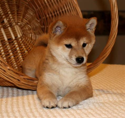 shiba inu puppies for sale in florida adorable shiba inu puppies craigspets