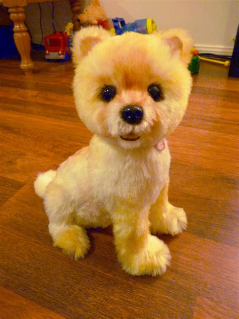 teddy pomeranian breeder goldendoodle teddybear haircut photos newhairstylesformen2014