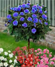 Lotus Flower Pictures Photos Images - seeds petunia picture more detailed picture about 50 pcs