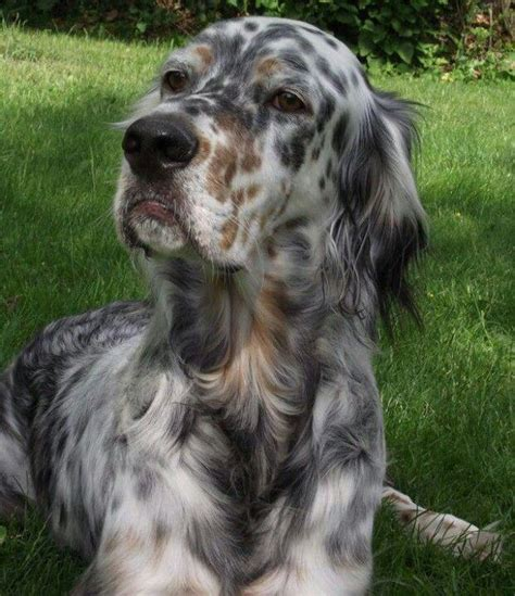 female english setter dog names best 25 english setters ideas on pinterest