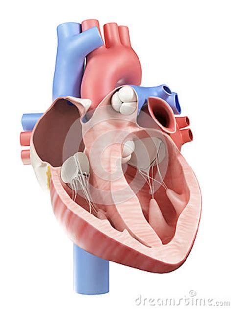 human heart cross section the human heart