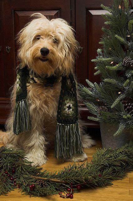 labradoodle christmas jumper 128 best golden doodle grooming styles images on golden doodles goldendoodle and