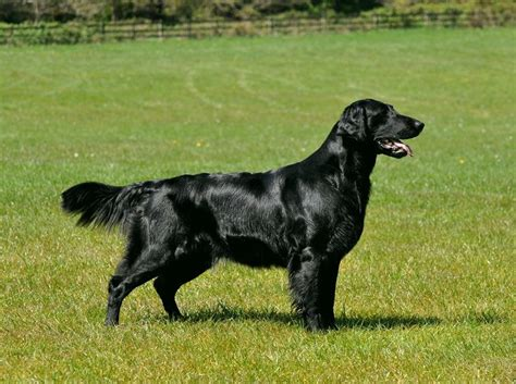 the flat coated retriever flat coated retriever dog photos doglers