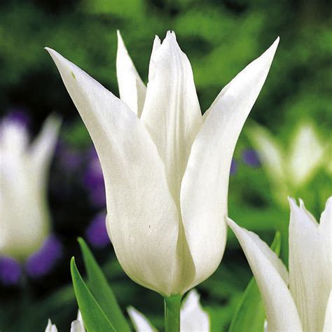tulip bulbs white collection