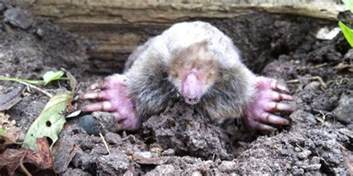 yard mole removal get rid of moles moles in garden