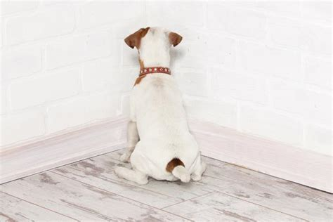 pressing in dogs pressing in dogs symptoms causes diagnosis treatment recovery management cost