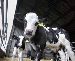 the modern solution to the exports of calves: working in