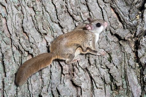 fantabulous facts about flying squirrels