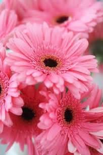 gerber daisies flowers more pinterest