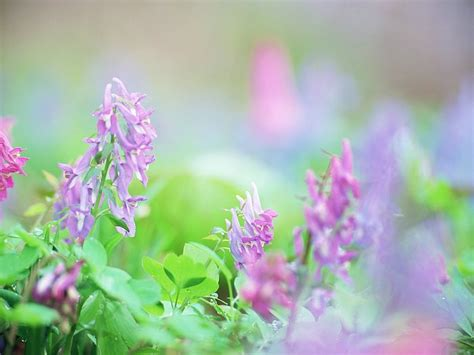 corydalis ambigua soft dreamy and romantic flowers 1920