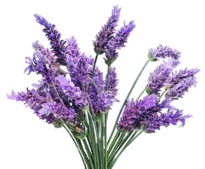 freetoedit png lavender flowers with a transparent back...