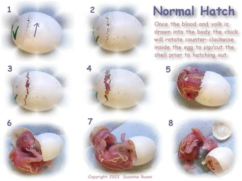 how to hatch bird eggs adventures with mel syd barn owl polygamy what
