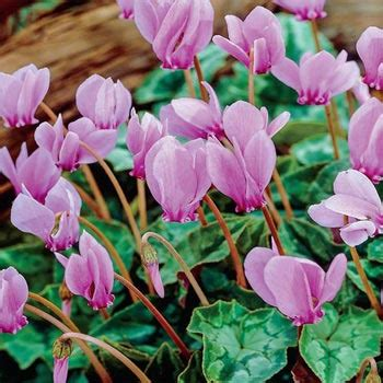 flowers that bloom only in winter hardy fall blooming cyclamen michigan bulb