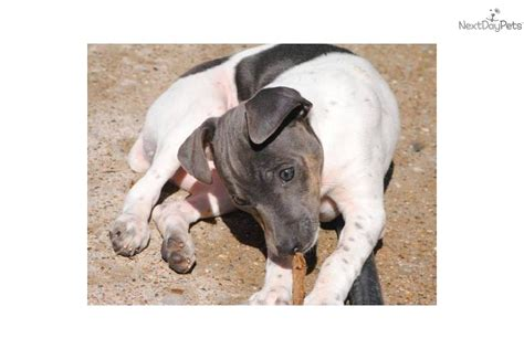 american hairless terrier puppies for sale american staffordshire terrier puppies for sale in indiana american breeds picture