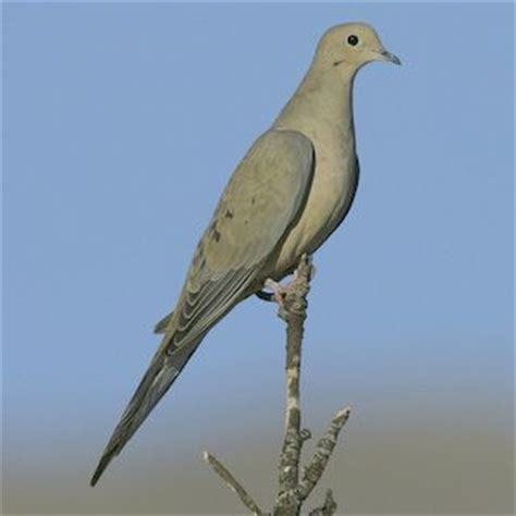 43 best images about cardinals crows mourning doves oh