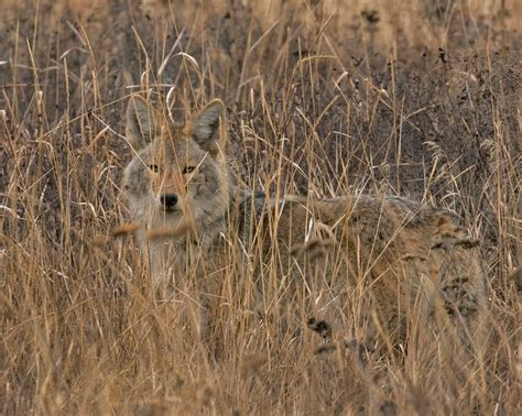 are coyotes color blind coyote huntress outdoors coyotes