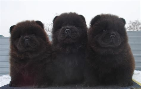 black chow puppy it looks so soft aww