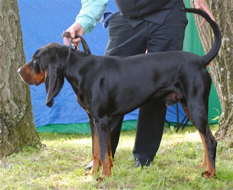 coon breeds black and coonhound wallpapers hd