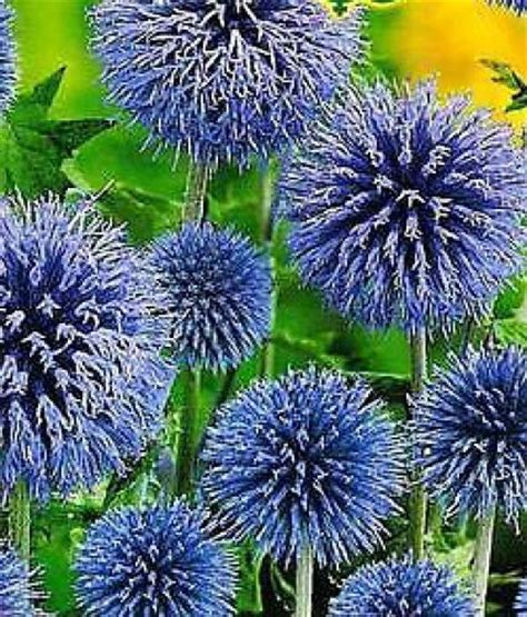 globe thistle echinops seeds perennial for birds