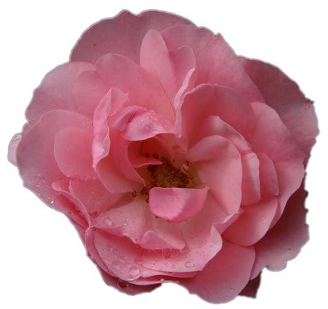 rosa fiore rosa fiore macro senza 183 foto gratis su pixabay