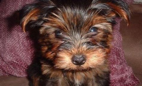 yorkie puppies edmonton yorkie puppies for sale for sale adoption from banff alberta edmonton adpost