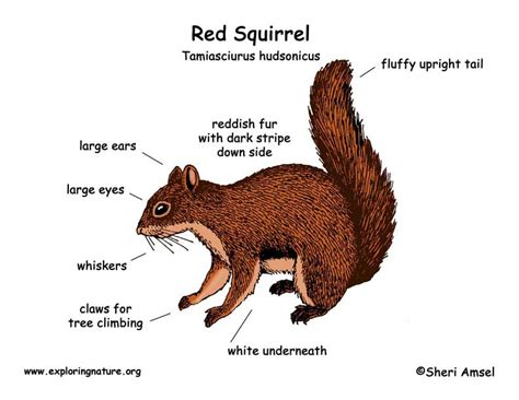 squirrel anatomy diagram squirrel
