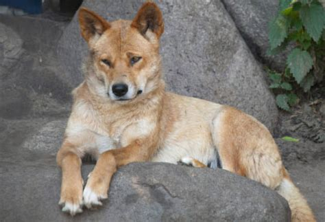 dingo dogs would a dingo really eat your baby mental floss