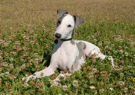 Whippet Shedding by Istock 000003693586xsmall Jpg Whippet Breeds