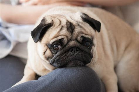 pug breeders in syracuse ny happy tails captain daily tagdaily tag