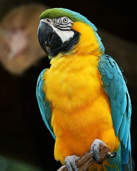 Home Decor Wall Posters blue and yellow macaw photograph by regina williams