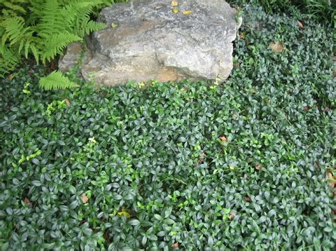 Backyard Ground Cover Options by Image Gallery Landscaping Ground Cover