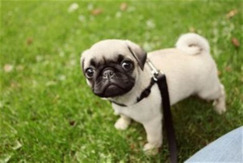 housebreaking a pug baby pugs baby pug on a leash puggies baby pugs pug and