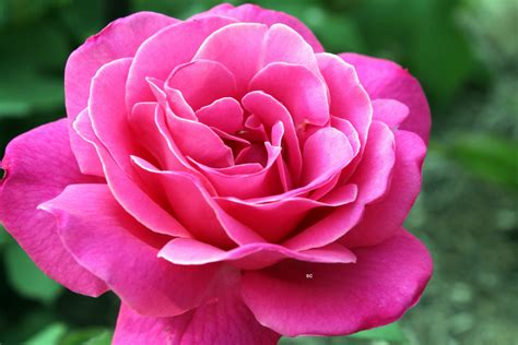flower expert red and pink roses image deep pink rose pedal flower garden jim shaw flickr