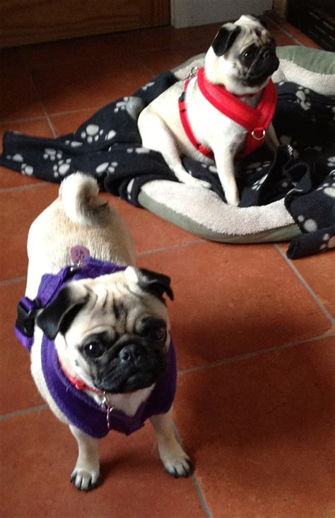 pug harness uk edog fleece harness reviews shop