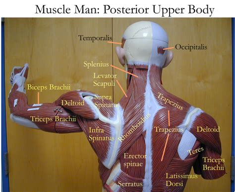 lower back muscles diagram diagrams of back muscles diagram site